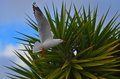 StevenSeagull (bevanwalker) Tags: d7000 nikon lens 70200mmf28 bird animal fresh sky blue light time spring photography native nature wildlife tree plant flying red white beak feathers moment colour image wing eye sunshine beautifulbirds paradise 2019 newzealand