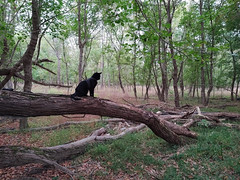 Evening Silhouette (annette.allor) Tags: cat adventure outside forest chausie blackcat woods kakashi walk outdoors harness leash