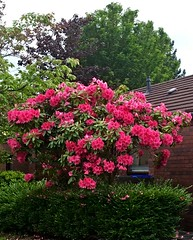 Neighbours garden (BrooksieC) Tags: neighbourhood garden bush flowers trees hedge ireland belfast northernireland