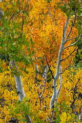 Beautiful Aspens. Bishop Creek Canyon. (topendsteve) Tags: sierra sierras us395 eastern lake mountain outdoors sky clouds fall autumn yellow orange tree trees water aspen bristlecone bishop