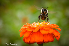 Flying Home for dinner (Yuri Dedulin) Tags: park new flowers red summer plant blur flower macro fall nature fleur colors yellow closeup yard canon garden insect fun outside photography evening flora day view bright bokeh outdoor weekend colorfull nj sigma arboretum september bee yuri jersey disturbed morristown 2018 frelinghuysen namture dedulin ngc
