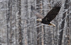 Flying by in the snow (Photosuze) Tags: baldeagles eagles juvenile snow trees birds predators aves avians raptors barren animals nature wildlife