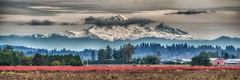 IMGP5400-Edit-Edit-Edit.jpg (peter_jdh) Tags: k30 bc landscape mountains panorama fall clouds haze trees pentax mtbaker pittmeadows canada blueberries panoramic fog farm