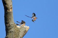 Eastern Bluebirds (astro/nature guy) Tags: illinoisbird bird urbanabird crystallakeparkbird crystallakepark bluebird easternbluebird