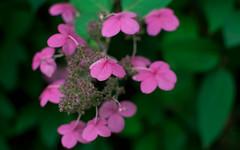 A lovely pink hydrangea flower (Thea Prum) Tags: naturewalk eastfells reservation nikon d5300 35mm f18 fallfoliage autumn