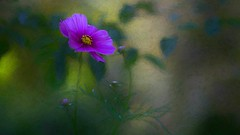 Late Afternoon in the Garden (Christina's World : updated bio) Tags: 1953 flower buds cosmos garden purple purpleflower green light textures bokeh nature naturallight topaz leaves