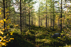 (thedrowsy) Tags: nature forest woods landscape sweden swe jämtland norrland scandinavia tree trees fall autumn colours colors color tones mood harsh light