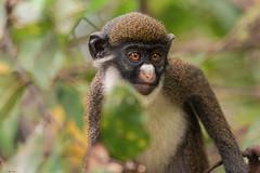 PENSIEROSO    ----    THOUGHTFUL (Ezio Donati is ) Tags: animali animals natura nature alberi trees foresta forest westafrica costadavorio areaberiby