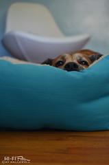 Weekend Warrior (Hi-Fi Fotos) Tags: rocco rocky rock rocket pet dog pup pooch nest pillow cushion bed rest relax portrait cute aqua turquoise bff nikkor 40mm micro 28 nikon d7200 dx hififotos hallewell