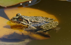 a frog on an orange leaf (Franck Zumella) Tags: nature water eau lac lake frog grenouille swim swimming nager wildlife animal a7r tamron 150600 reflection reflexion green vert eye oeil maron maroon orange color couleur