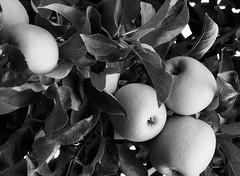 An Apple a Day (Bytormsa) Tags: fruit trees apples bw nikon nikkor tmax f4 micro hc110