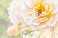 Late Rose and Hoverfly, Vancouver, BC. (gks18) Tags: bug canon marco rose lightroom nik nature garden