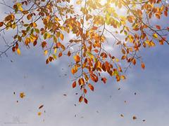 and so it begins... (marianna armata) Tags: fall falling leaves autumn tree branch beech leaf sky psd light composite mariannaarmata