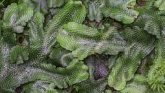 Conocephalum salebrosum (wanderflechten) Tags: conocephalumconicum liverwort conocephalumsalebrosum