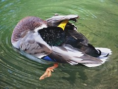 Busy duck #1 (EcoSnake) Tags: ducks mallards waterfowl wildlife preening october fall idahofishandgame naturecenter