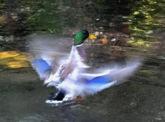 Busy duck #2 (EcoSnake) Tags: ducks mallards waterfowl wildlife october fall wings idahofishandgame naturecenter