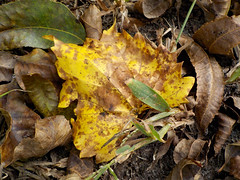 Fallen Autumn Leaves. (dccradio) Tags: lumberton nc northcarolina robesoncounty outdoor outdoors outside northeastpark raymondbpenningtonathleticcomplex penningtonathleticcomplex leaf leaves fallenleaf fallenleaves autumn fall yellowleaf groundedleaf park citypark nature natural sunday weekend afternoon sundayafternoon goodafternoon nikon coolpix w100 photooftheday photo365 project365