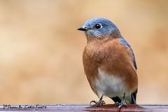 Blue Beauty (ChrisF_2011) Tags: bluebird wings wildlife sialiasialis easternbluebird bird blue feathered beauty perched birdwatching backyardbird nature