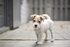 There's a new pup in town (dog ma) Tags: nahla parsenrussellterrier terrier whte dog ma jodytrappephotography nikon d750 nikkor 50mm fiddy cute adorable