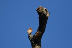 Eastern Bluebird (astro/nature guy) Tags: illinoisbird bird urbanabird crystallakeparkbird crystallakepark bluebird easternbluebird