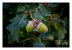 Splitting headache (Bob Geilings) Tags: acorn summer flora tree leaves macro closeup nature green bokeh