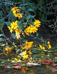 au bord du Loup (b.four) Tags: fleur blossom fiore rivière fiume river loup villeneuveloubet alpesmaritimes coth5
