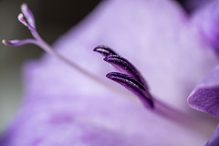 Inside Out (LadyBMerritt) Tags: afloweraday nature gladiolus flower macro macroflower macronature purple stamen