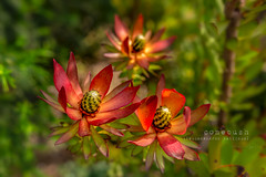 Conebush (jenni 101 - on and off for a while) Tags: 100xflowers australia flowersplants nikond7200 sigmaart18 victoria bokeh bright photographybyjen