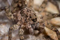 IMG_2049 (jaylt466) Tags: spider wolfspider bug arachnid canon 90d macro