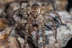 IMG_2031 (jaylt466) Tags: spider wolfspider bug arachnid canon 90d macro
