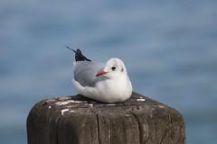 Black-headed Gull! (RiverCrouchWalker) Tags: blackheadedgull southendonsea essex gull september autumn 2019 post bird chroicocephalusridibundus