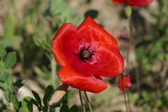 P1010112 (alainazer) Tags: lourmarin vaucluse provence france fiori fleurs flowers colori colors couleurs coquelicot poppy papavero