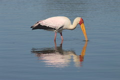 Reflections (Rckr88) Tags: krugernationalpark southafrica kruger national park south africa reflections reflection yellow billed stork yellowbilledstork yellowbilledstorks bird birds lake lakes water dam dams nature naturalworld outdoors wilderness wildlife