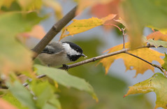 Mésange à tête noire // Black-capped Chickadee (Alexandre Légaré) Tags: mésange à tête noire blackcapped chickadee poecile atricapillus oiseau bird animal avian wildlife nature nikon d7500 quebec canada sherbrooke