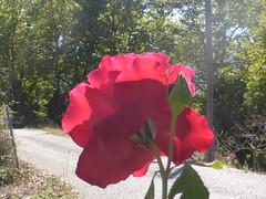 P1090512 (amalia_mar) Tags: rose flower flora fiori fleur red autumn road nature colorfulnature redmonday sundaylights crazytuesday upsidedown
