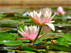 Close-up on beautiful lotus flowers on pond (German Vogel) Tags: garden landscaping landscaped serene relaxing summer blossom flowers lotusflower lotuspond travel tourism traveldestinations touristattractions pond lotus