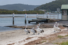 Pelican Welcome Squad (Merrillie) Tags: landscape davistown bay birds newsouthwales wet nsw brisbanewater wild wildlife pelicans pelican bird animal outdoors waterscape fauna centralcoast coastal australia