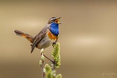 Bluethroat (Frank Schauf Photography) Tags: animal bird blaukehlchen bluethroat europa europe lusciniasvecicasvecica netherlands niederlande nordholland northholland tier vogel