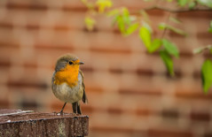 The robin. (Zoom58.9) Tags: bird wall wand vogel nature natur robin rotkehlchen