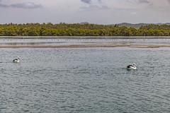 Pelicans and Bay Waterscape (Merrillie) Tags: landscape davistown bay birds newsouthwales wet nsw brisbanewater wild wildlife pelicans pelican bird animal outdoors waterscape fauna centralcoast coastal australia