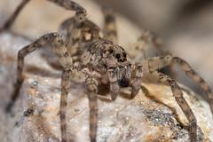 IMG_2051 (jaylt466) Tags: spider wolfspider bug arachnid canon 90d macro