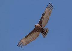 Brown Snake Eagle - Circaetus cinereus (Gary Faulkner's wildlife photography) Tags: brownsnakeeagle circaetuscinereus