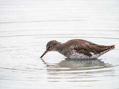 Chevalier (lau_n2014) Tags: oiseau bird chevalier