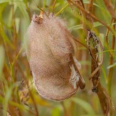 Eastern Red Bat (Kevin E Fox) Tags: easternredbat galloway nj newjersey edwinbforsythenationalwildliferefuge wildlifedrive nature nikond500 nikon sigma150600sport sigma