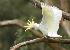 Sulphur Crested Cockatoo (rankenhohn59) Tags: cockatoo bird wildlife animal australian native nature woodland garden