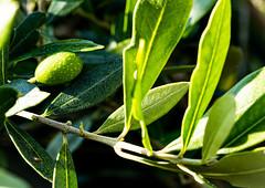 6M7A8012 (hallbæck) Tags: oliven oliventræ olive olivetree oleaeuropaea oleaceaefamily mh hørsholm denmark macro canoneos5dmarkiii ef100mmf28lmacroisusm grøn green macrounlimited