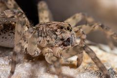 IMG_2057 (jaylt466) Tags: spider wolfspider bug arachnid canon 90d macro