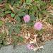 Shame Plant - Mimosa pudica