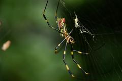 20160926_022_2 (まさちゃん) Tags: 蜘蛛の巣 蜘蛛の糸 蜘蛛 ナガコガネグモ 長黄金蜘蛛