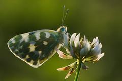 Pontia daplidice (7) (JoseDelgar) Tags: insecto mariposa pontiadaplidice 426296238718487 josedelgar naturethroughthelens alittlebeauty coth coth5 fantasticnature ngc npc